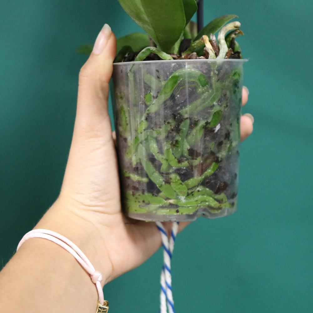 Watergeeflont Little Kolibri Orchids