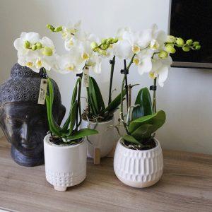 Orchideeën set in Desert potten