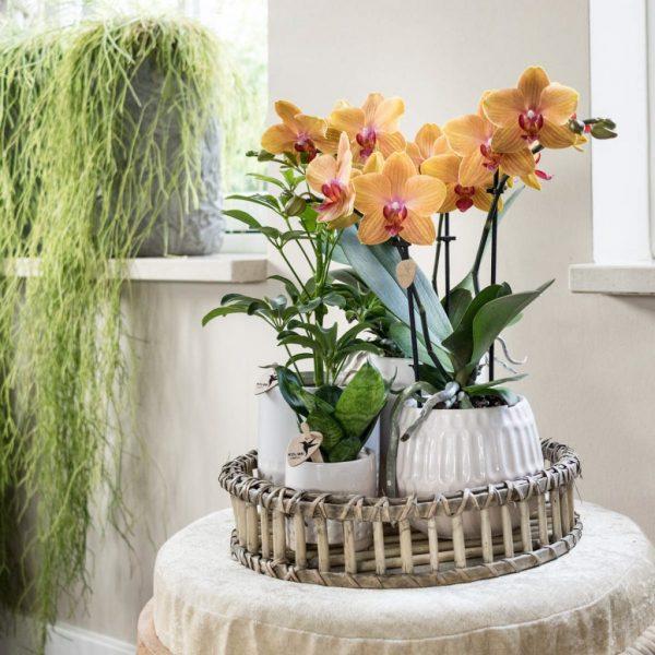 Orchideeën set in drie Desert potten