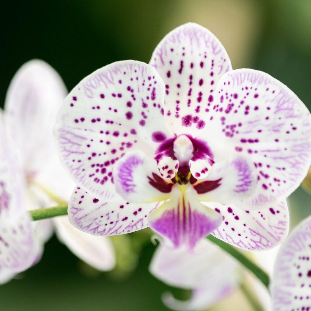 Orchidee kopen Kolibri Company abonnementen (2)