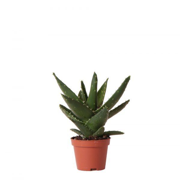 Kolibri Greens Succulents Aloe Brevifolia 6cm