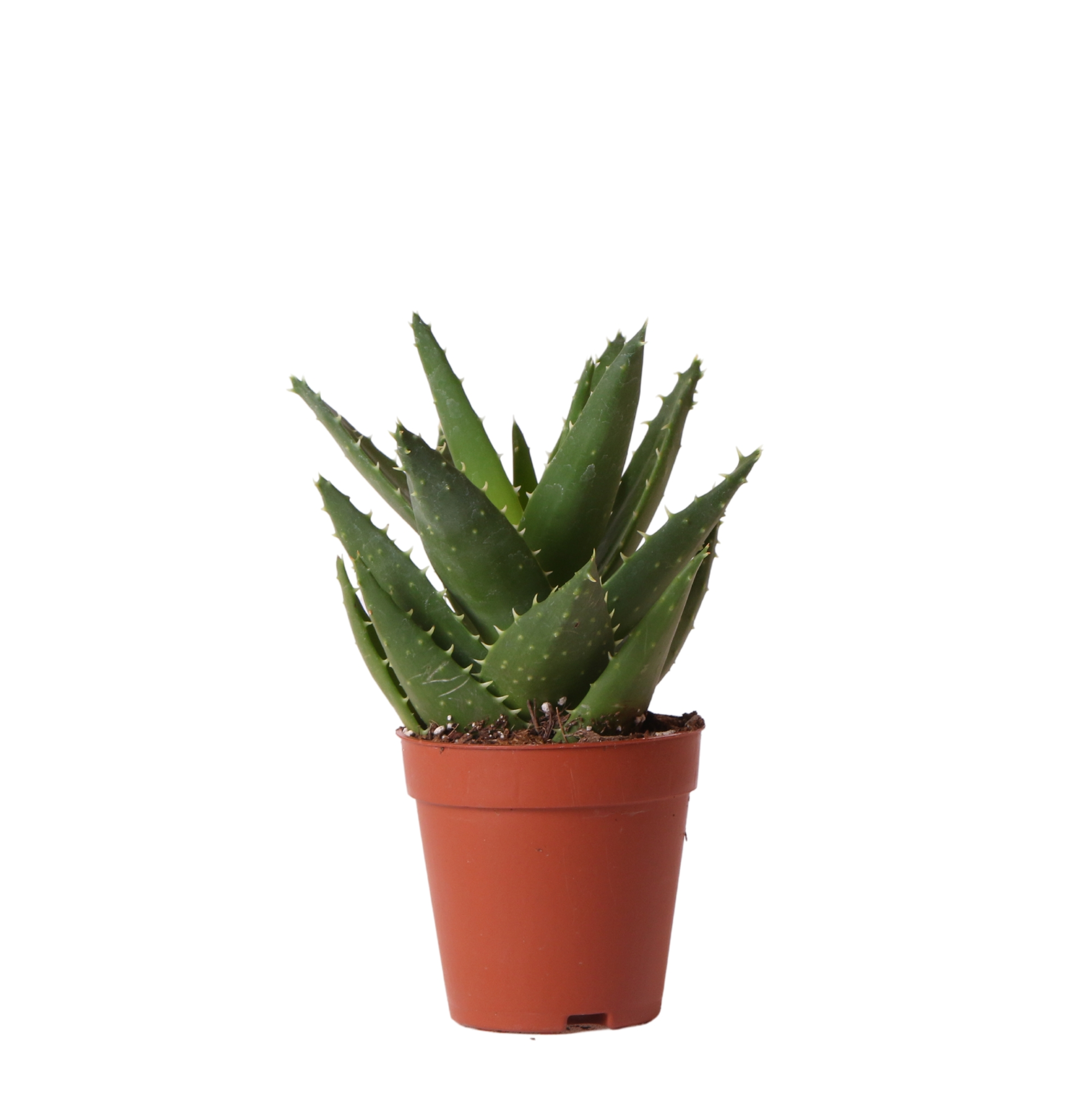 Kolibri Greens Succulents Aloe Brevifolia 9cm