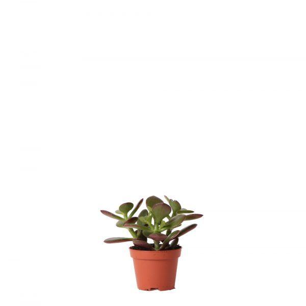 Kolibri Greens Succulents Crassula ovata 6cm