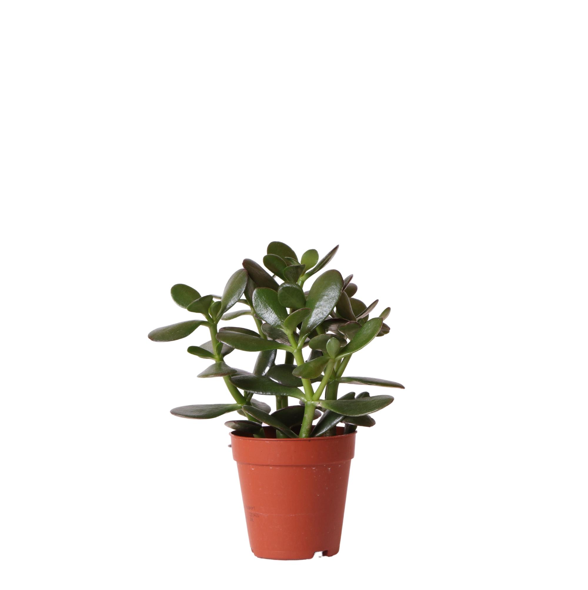 Kolibri Greens Succulents Crassula ovata 9cm