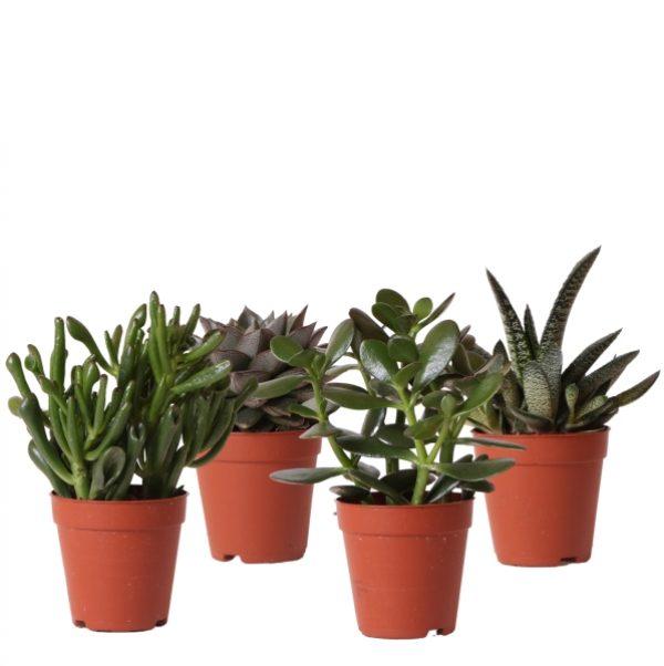 Succulenten set