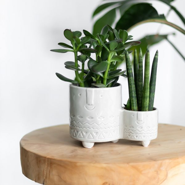 Succulent Crassula Ovata