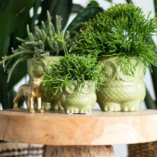 Rhipsalis in Owl pot