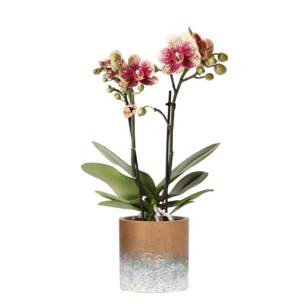 Diamond red orchidee in Flame bronze pot