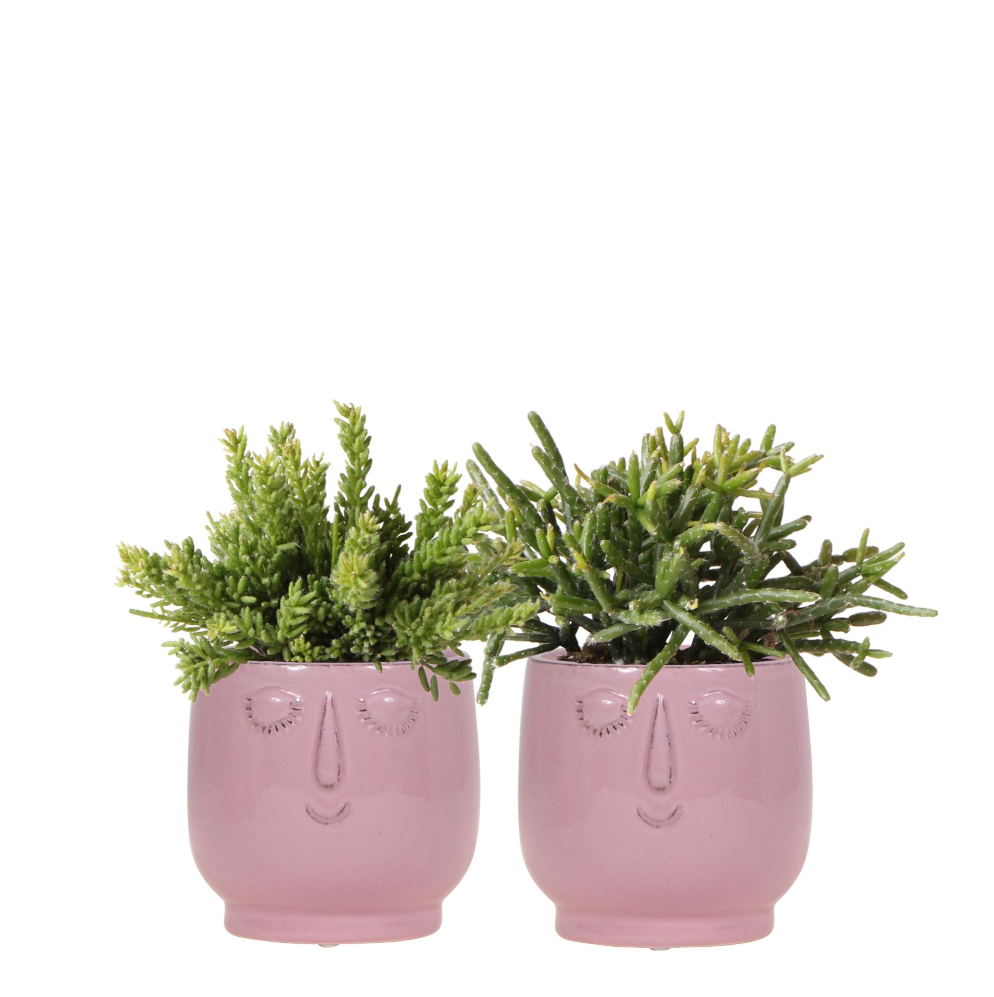 Kolibri greens Rhipsalis planten set in happy face potten roze 9cm