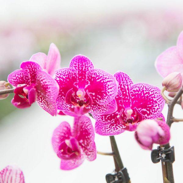 Kolibri orchids Minerals Diamond collectie pink roze 9cm