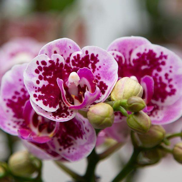 Kolibri orchids Minerals Diamond collectie pink roze el salvador 9cm