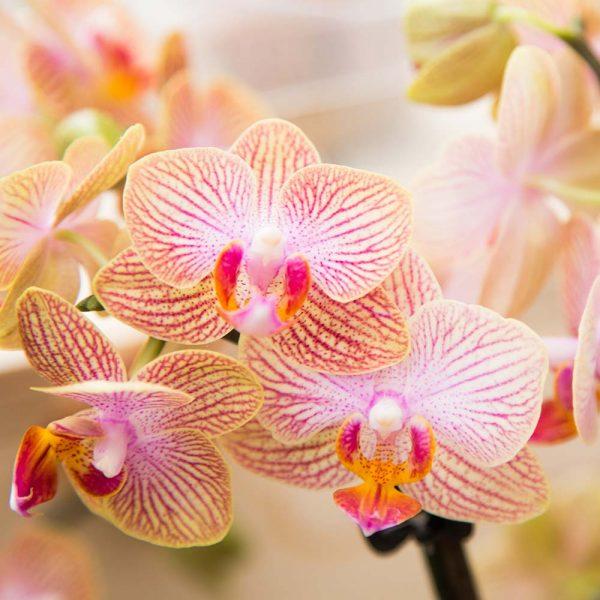 Mineral orchidee oranje