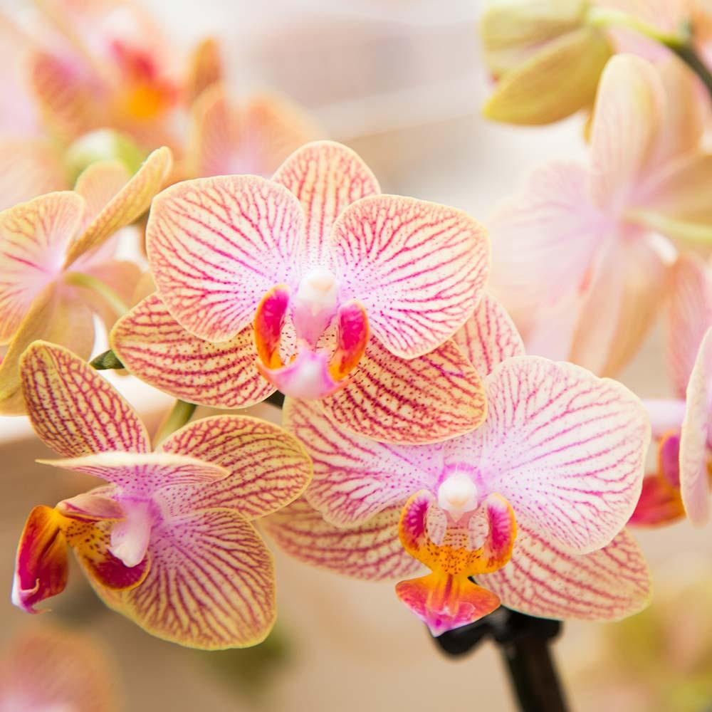 Kolibri orchids Minerals collectie orange oranje 9cm