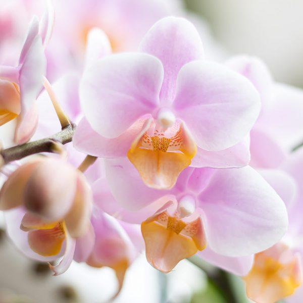 Roze orchidee in grijze Marrakesh pot