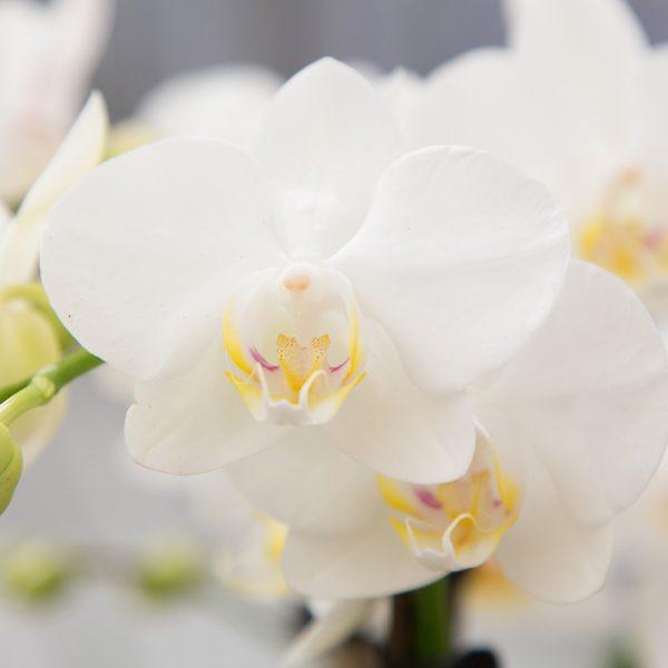 Set van witte orchidee en Succulent in Twisted green pot