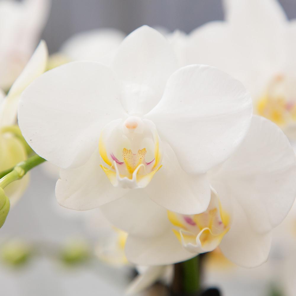 Kolibri orchids Minerals collectie white wit 9cm