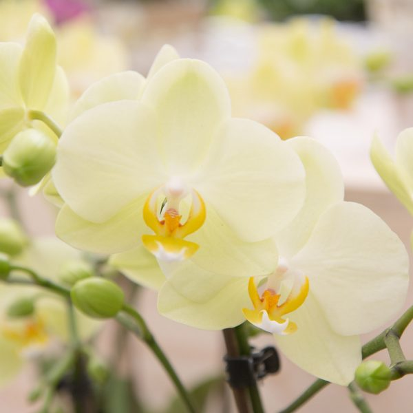 Kolibri orchids Minerals collectie yellow geel 9cm