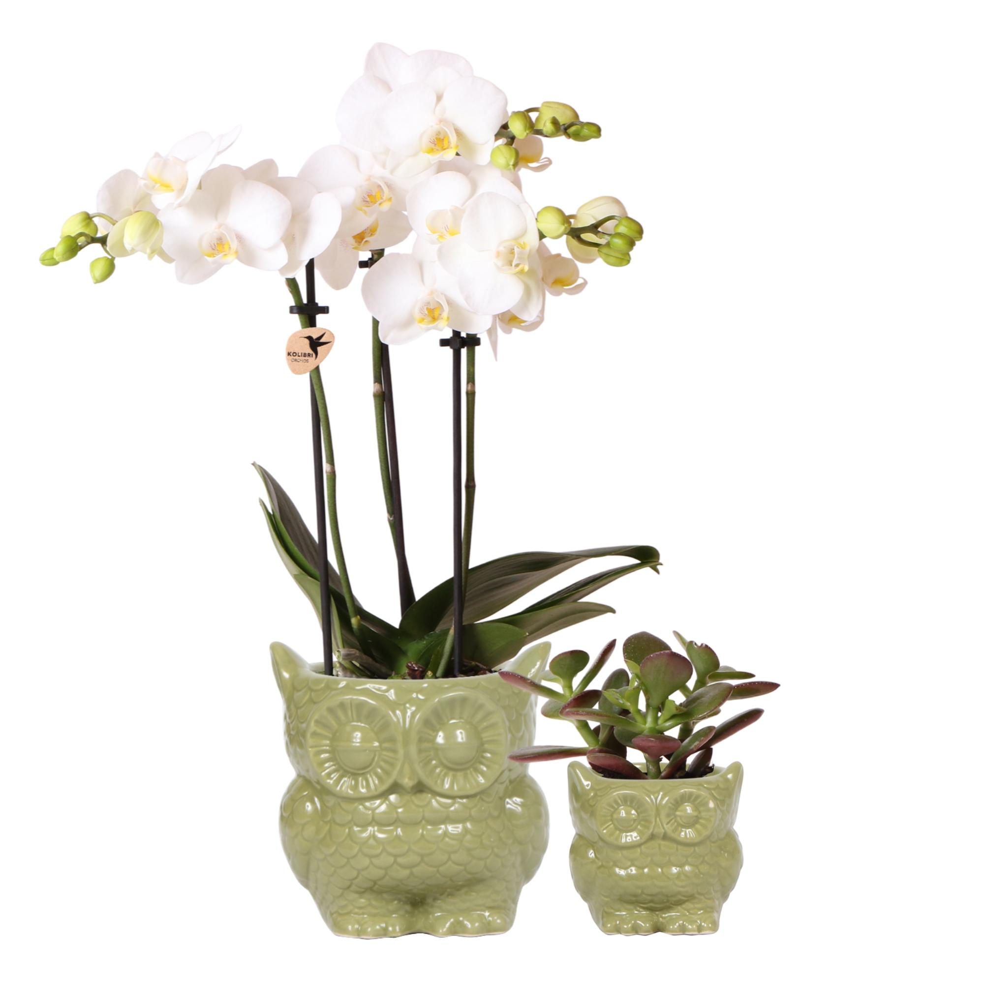 Kolibri orchids greens plantenset van orchidee phalaenopsis en succulent in owl pot green 6cm 9cm