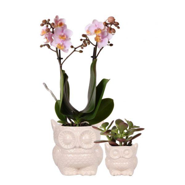 Kolibri orchids greens plantenset van orchidee phalaenopsis en succulent in owl pot nude 6cm 9cm