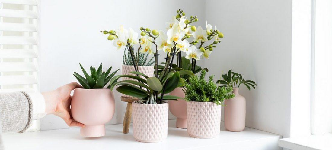 categorie_alle orchideeën kolibri company