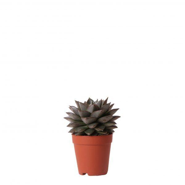 Succulent Echeveria Purpusorum