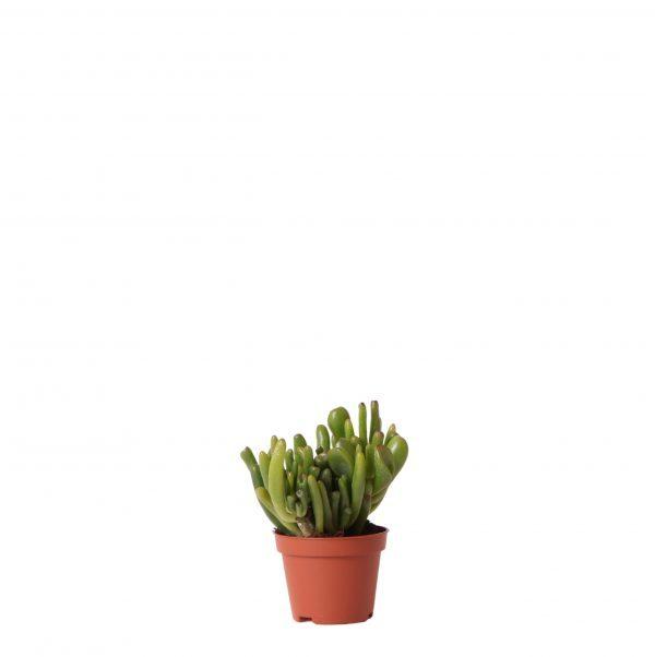 Kolibri Greens Succulents Crassula hobbit 6cm