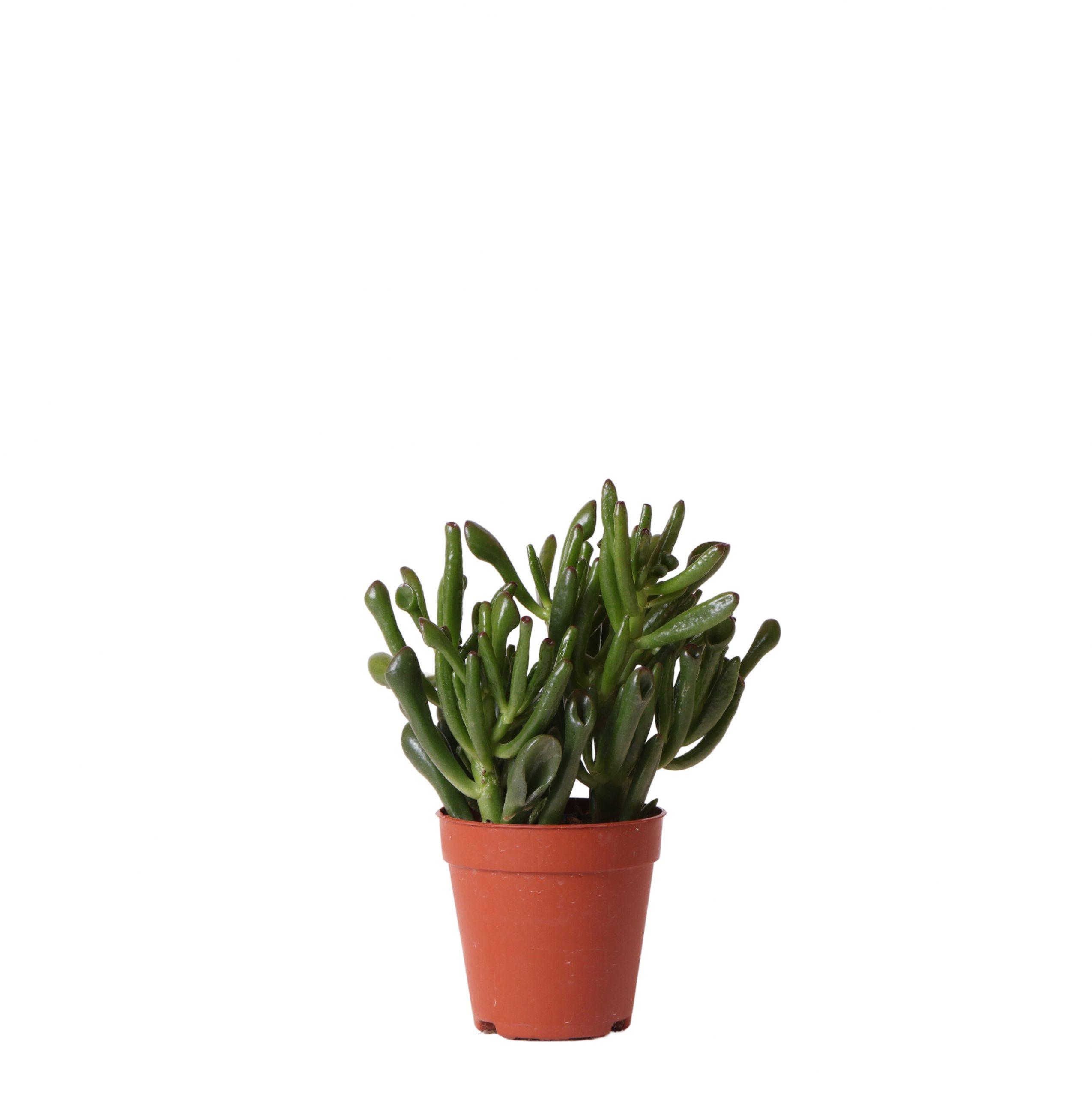 Kolibri Greens Succulents Crassula hobbit 9cm