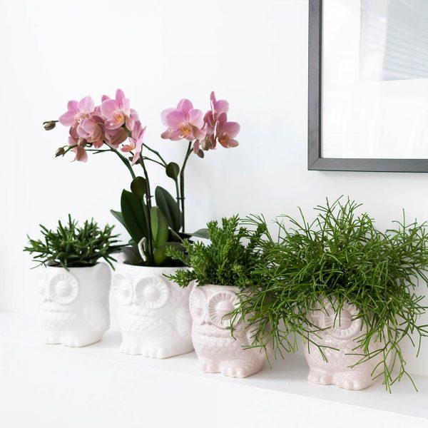 Set van orchidee en succulent in Owl pot