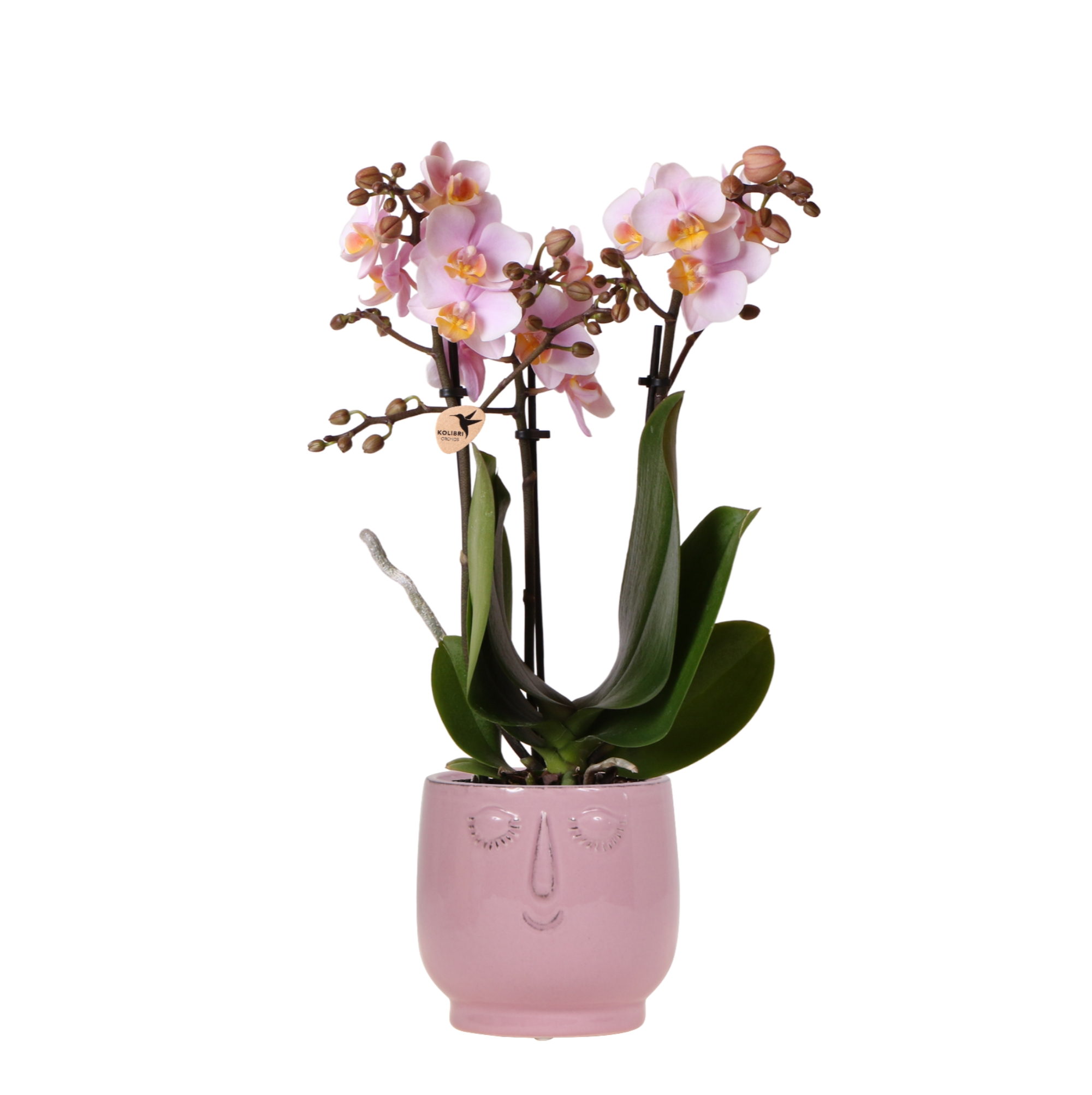 planten set plantenset kolibri orchids pink in happy face pot pink 9cm