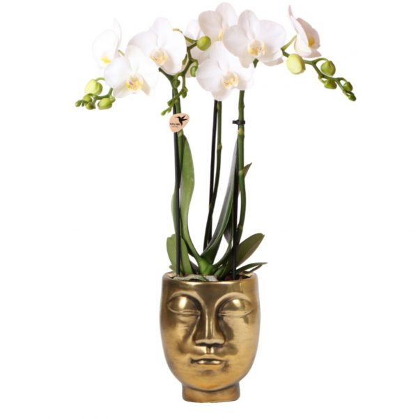 Orchidee in gouden face to face pot