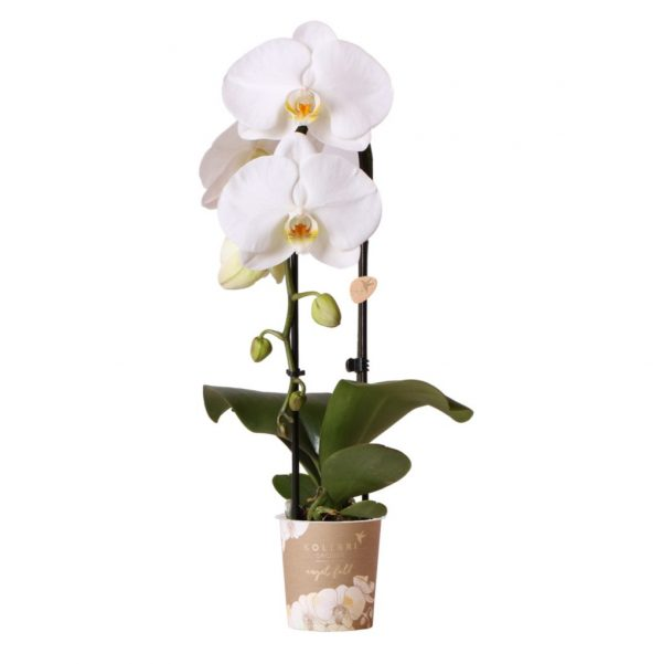 Angel Fall orchidee wit