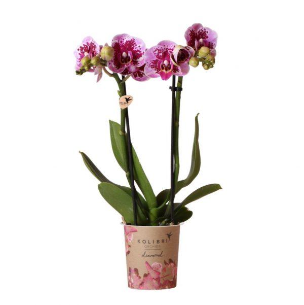 Kolibri Company - Kolibri Orchids Diamond pink El Salvador 9cm orchidee kopen
