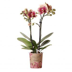 Diamond orchidee rood