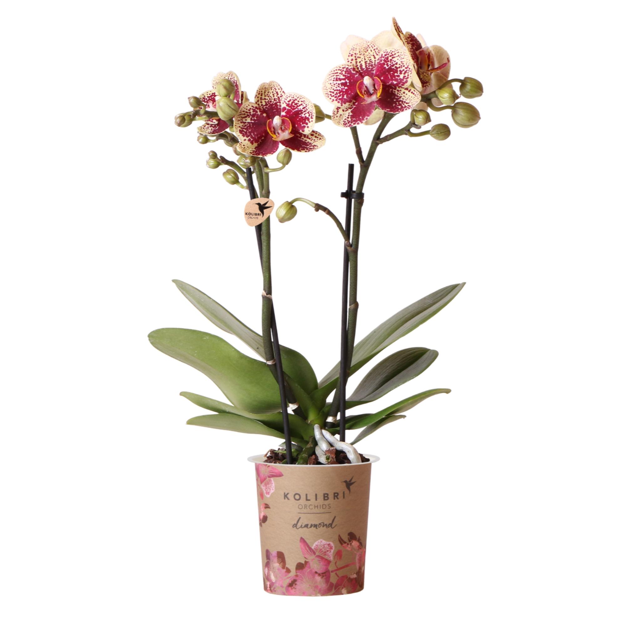 Kolibri Company - Kolibri Orchids Diamond red Spain 9cm orchidee kopen