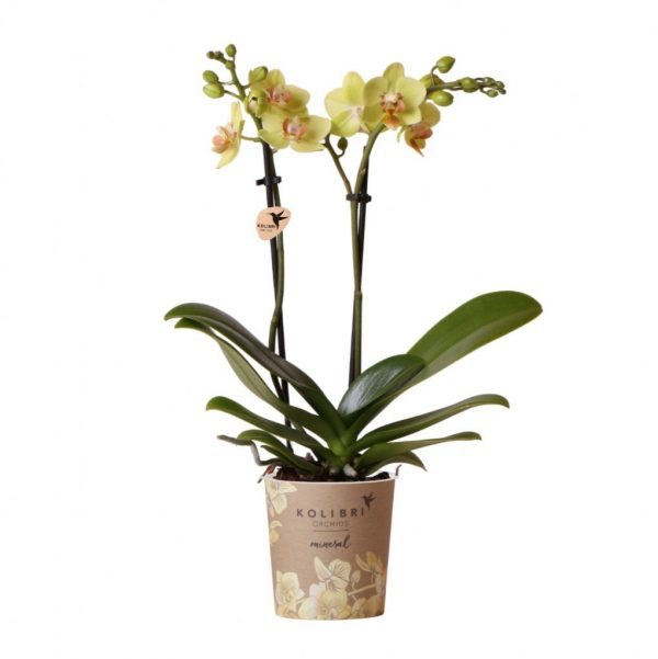 Mineral orchidee geel
