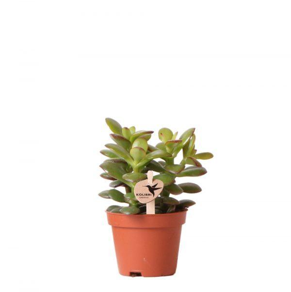 Kolibri Greens Succulent Crassula Minor 6cm