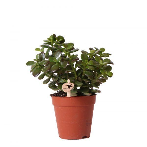 Succulent Crassula Minor