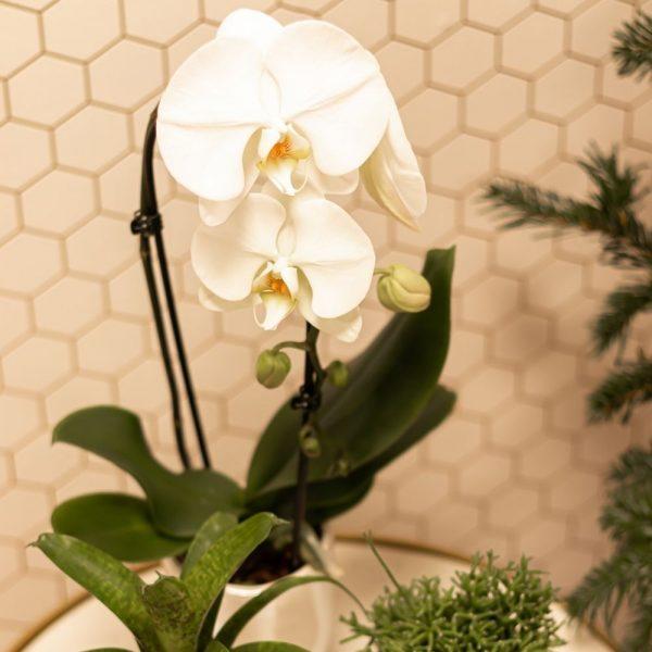 Kolibri Orchids Angel Falls white wit planten kopen 9cm (1)