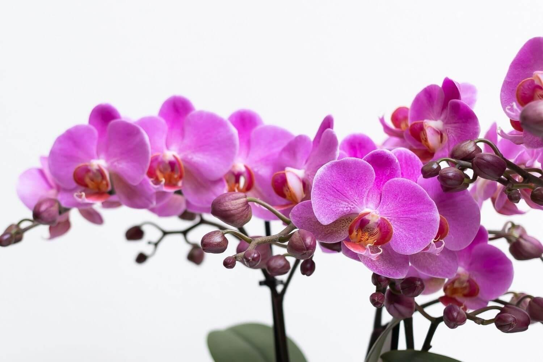 Kolibri Orchids verzorgingstips orchidee opnieuw laten bloeien
