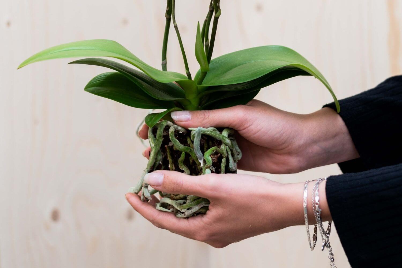 Kolibri Orchids verzorgingstips orchidee verpotten