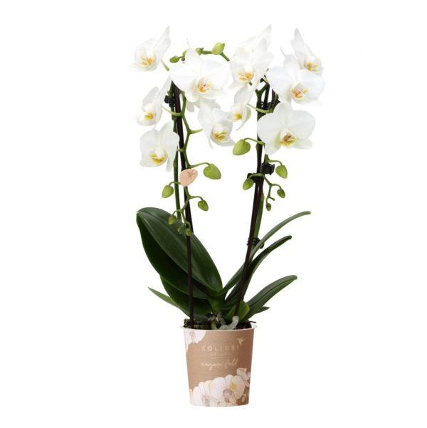 Niagara Fall orchidee wit