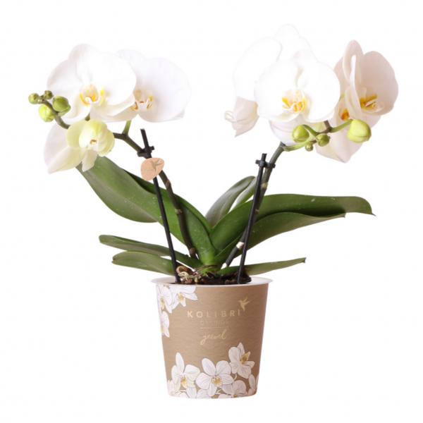 Jewel orchidee Greenland