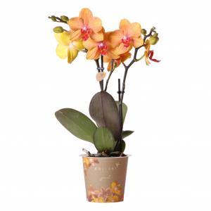 Jewel orchidee Dubrovnik