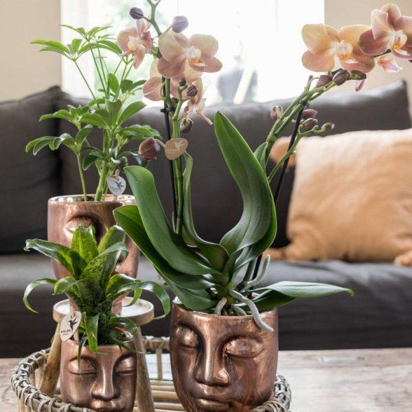 Kolibri Company Jewel orchidee Monaco