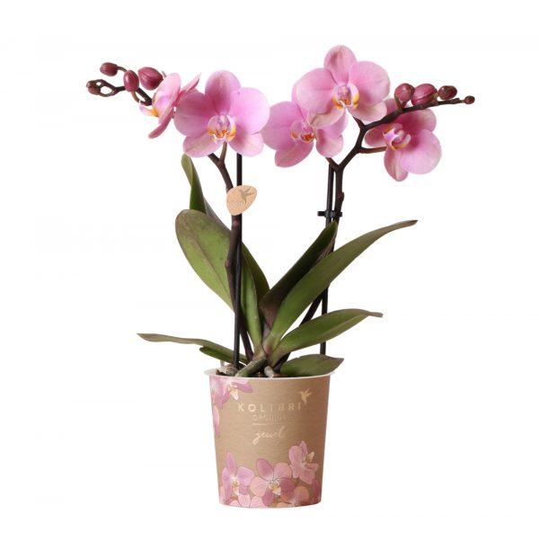 Kolibri Company - Jewel orchidee Italia 9 cm