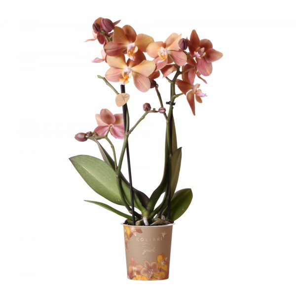 Kolibri Company - Jewel orchidee Monaco 9 cm