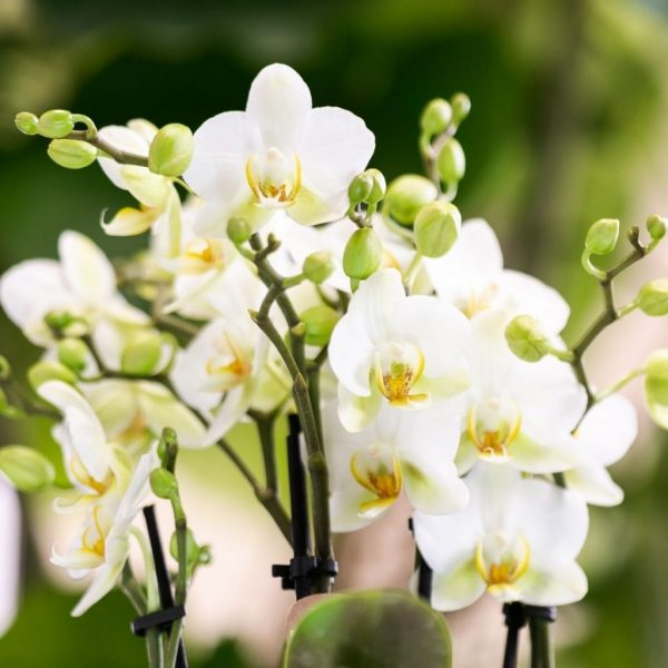 Kolibri Company - Kolibri Orchids Blossom white Lausanne 9cm (2)