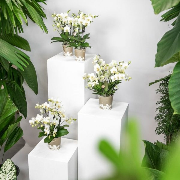 Kolibri Company - Kolibri Orchids Blossom white Lausanne 9cm (3)