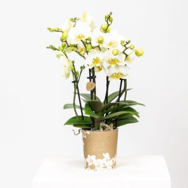 Kolibri Company - Kolibri Orchids Blossom white Lausanne 9cm