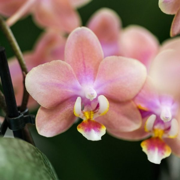 Kolibri Company - Kolibri Orchids Fragrance orange 9cm (2)